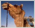 Поездки на верблюдах - на Кипре тоже экзотика!